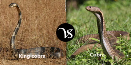 difference-between-king-cobra-and-cobra