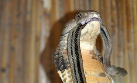 fangs-fixed-king-cobra-feeding
