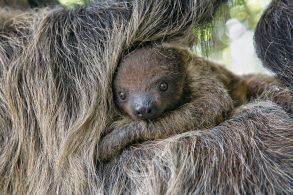 sloth_baby_animals