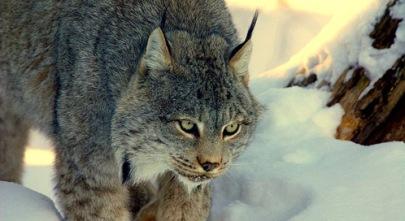 canada-lynx-jean-pierre-grosemans-dpc