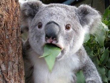 surprised-koala3