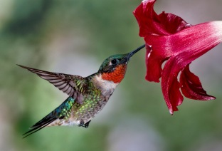 1D RGB 9535 Hummingbirds 10