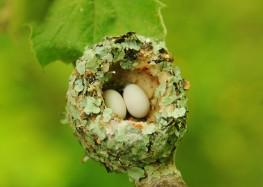 Hummingbird.nest_.Coverdale..5.24.11.derekstoner-231