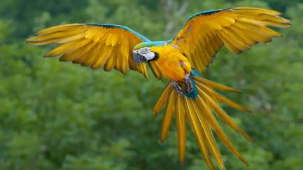 377331-beautiful-birds-blue-and-gold-macaw-in-flight