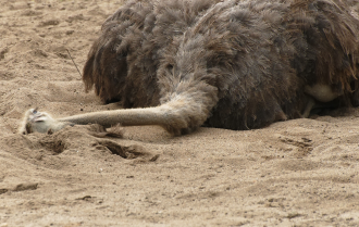 Ostrich-head-sand.png