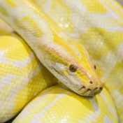 reticulated-python-gold-thumbnail-600