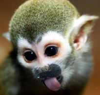 baby-squirrel-monkey-pictures-animal-pics