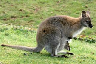 Bennett_s_wallaby_with_young_in_pouch_Whipsnade_26th_March_2011