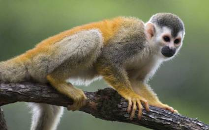 squirrel_monkey_species