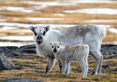 2015-06-15_svalbard_reindeer_carlerikkilander_2948