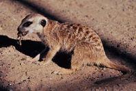 220px-Meerkat_in_Namibia