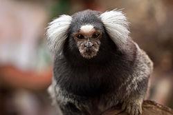 250px-Common_marmoset_(Callithrix_jacchus)