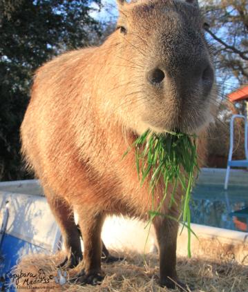 capybara-02-624x737