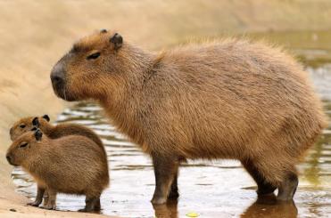 capybara-mother-babies