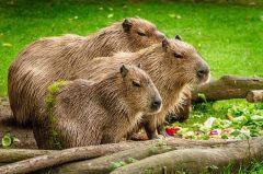 en-buyuk-fare-kapibara