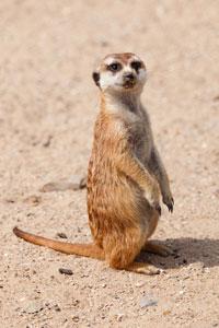 meerkat200