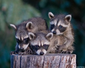 Raccoons_BarbaraFleming_363977-copy-620x496
