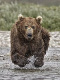 drawn-grizzly-bear-running-bear-8