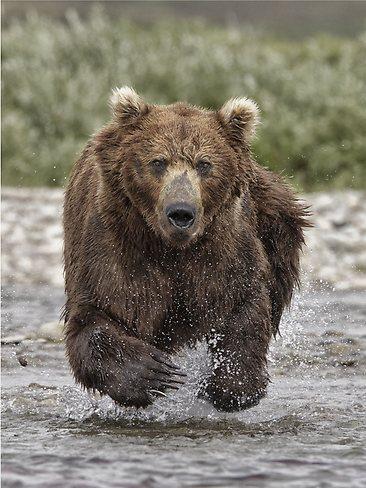 drawn-grizzly-bear-running-bear-8
